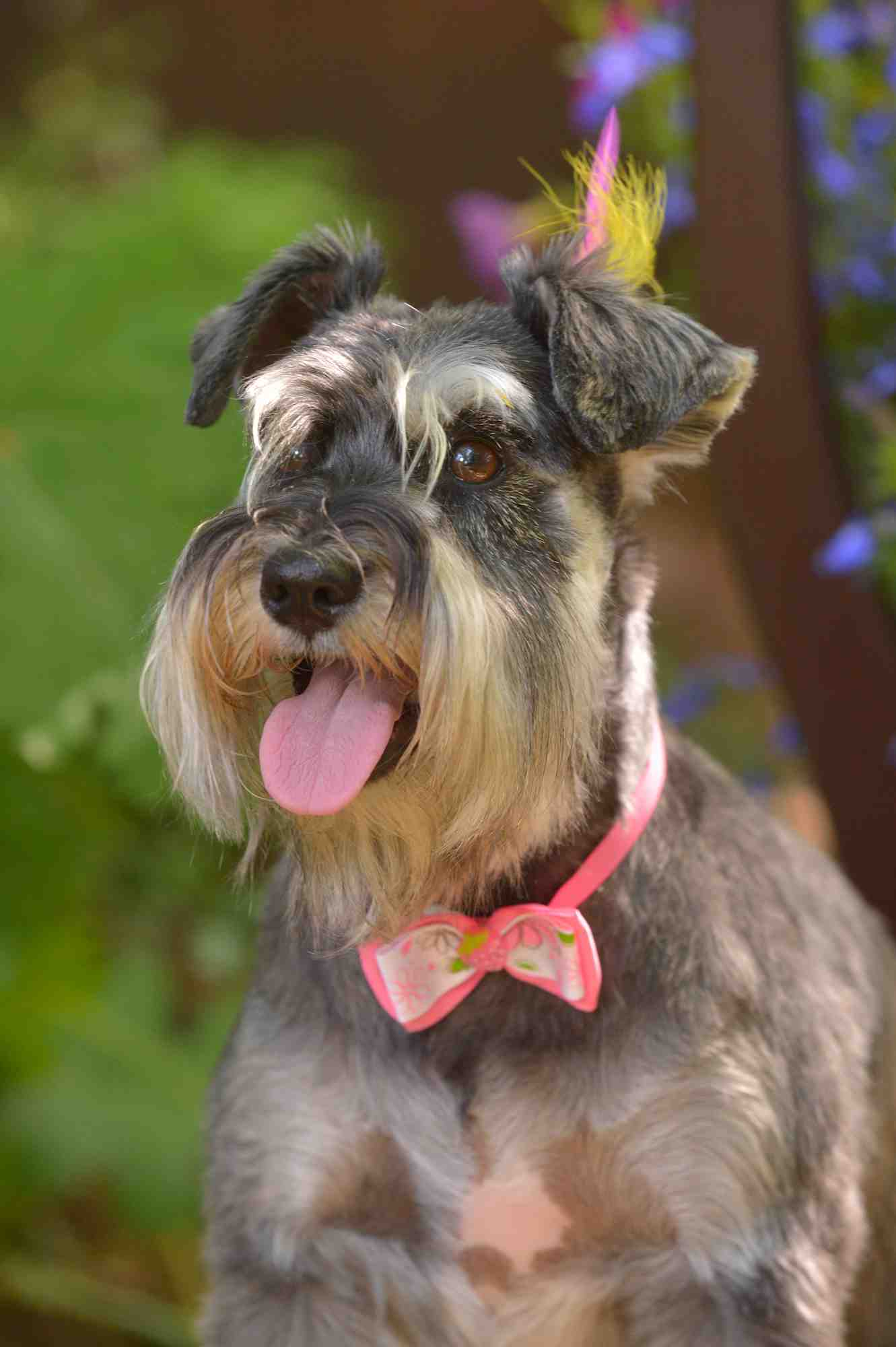 schnauzer photo w
